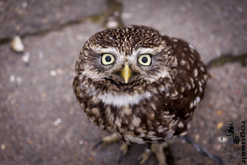 A very Little Owl by rogueslr on Flickr.