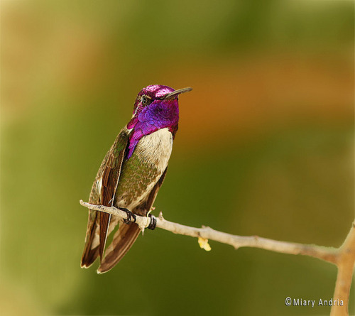 fairy-wren:  costa's hummingbird (photo by miary andria)