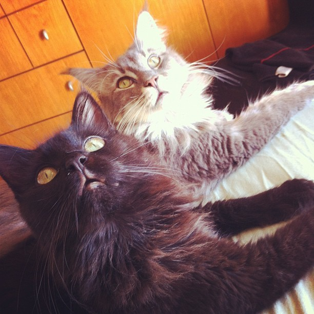 Gaia and Barbara: Maine Coon Beauty, Fluff and Cuteness. Photo by ©Eliane Peres