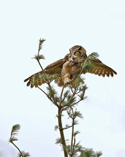 fairy-wren:  startled great horned owl(photo by ken@jkwebzone)