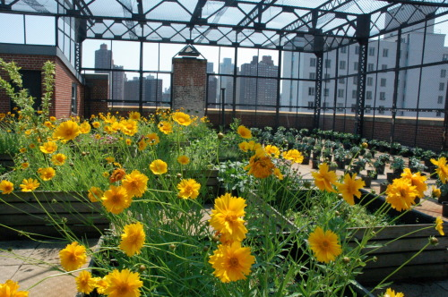 Innovation's Sustainable Careers program takes our NYC rooftop to the next level - Marigolds, Broccoli, hot peppers, grapes & more!