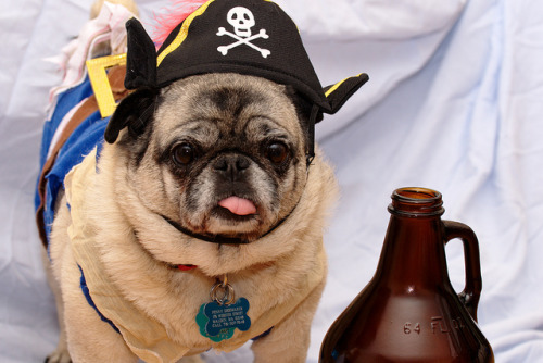 theanimalblog:  Pirate Pug (by shoe the Linux Librarian)