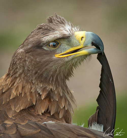 fairy-wren:  steppe eagle (photo by colin carter)
