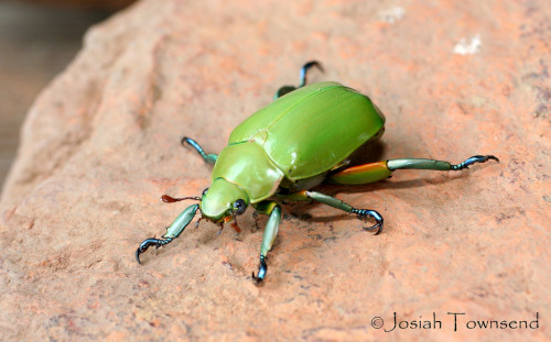 rhamphotheca:  A Jewel Scarab Beetle, probably Chrysina cavei, from the cloud forest at Cataguana, 1910 m elevation, Montaña de Yoro National Park, Honduras, March 2006. (photo: Josiah Townsend)
