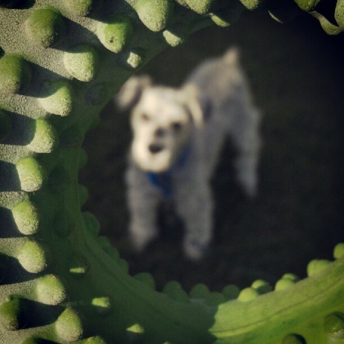 Bring it #dog #toy #schnauzer (Taken with instagram)