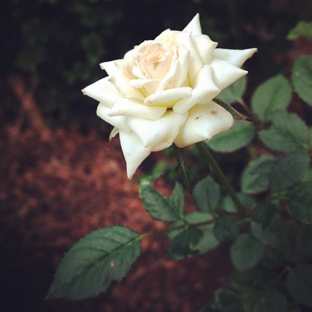 #rose #flower #white #rikfoto #2012 #may #beautiful #cool #iphone #photography   (Taken with instagram)