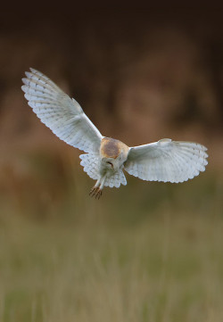 Barn Owl - MG_3978 by nigel pye on Flickr.