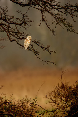 Barn Owl - MGL9761 by nigel pye on Flickr.