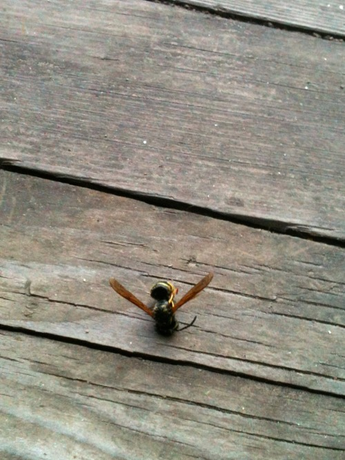 Okay. 1. It's a wasp, not a bee. 2. He got into the inside of my screen door, so would've gotten right into the house when I opened the inside door. 3. I killed him with organic household cleaner. Organic. Natural. Nature killed by nature. So…easy, guv'nah.