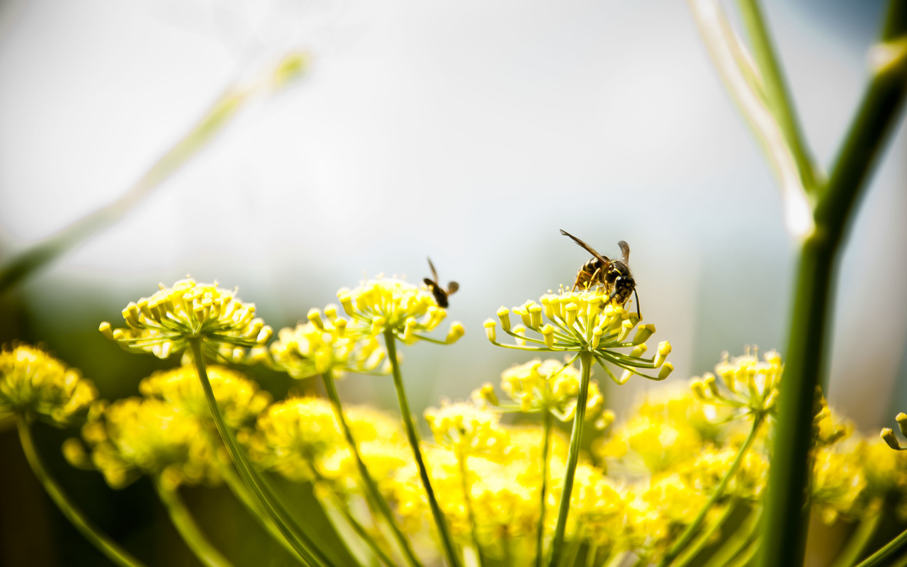 Yellow Jackets on Dill flowers Hamburg, Germany July, 2011