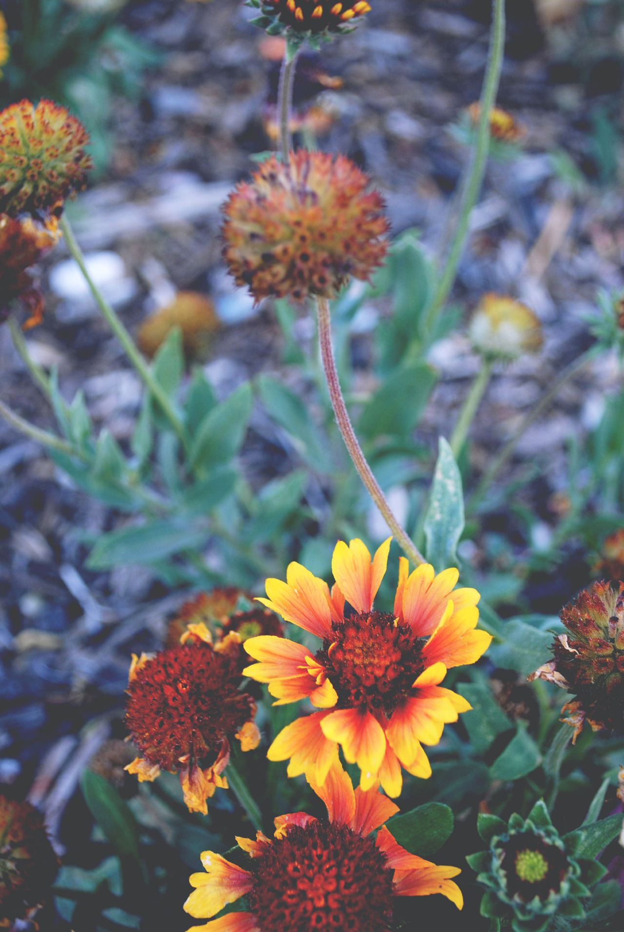 missmatiphotography:  Rasta-ish colored flowers?
