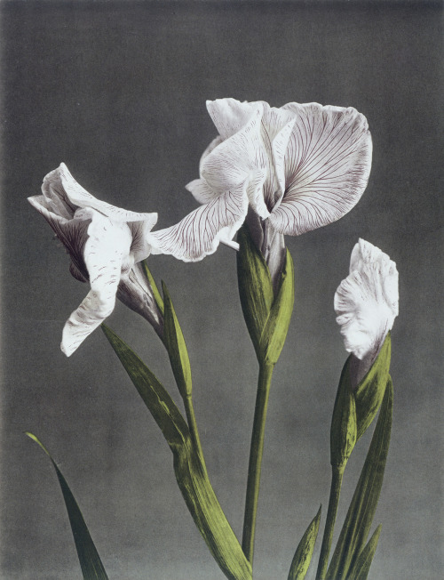 indubio:  Ogawa Kazuma, Iris Kaempferi II. Collotype photograph. Japan, late 19th century. From the V&A Collections.