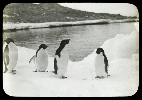 Penguins at home by State Library of Victoria Collections on Flickr.