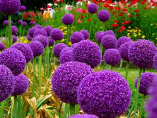 "enchantedeccentricity:      I love these giant allium and they are supposedly easy to grow and maintain. Allium is popularly known as ""Ornamental Onions"" which may explain why they aren't as popular as they should be. They are terribly misunderstood, I believe. Why they will TRANSFORM YOUR GARDEN INTO OZ!!! I am going to line the walkway up to my house with them, and then bring in the munchkins to lay out the yellow brick road.  (liveinternet.ru)"