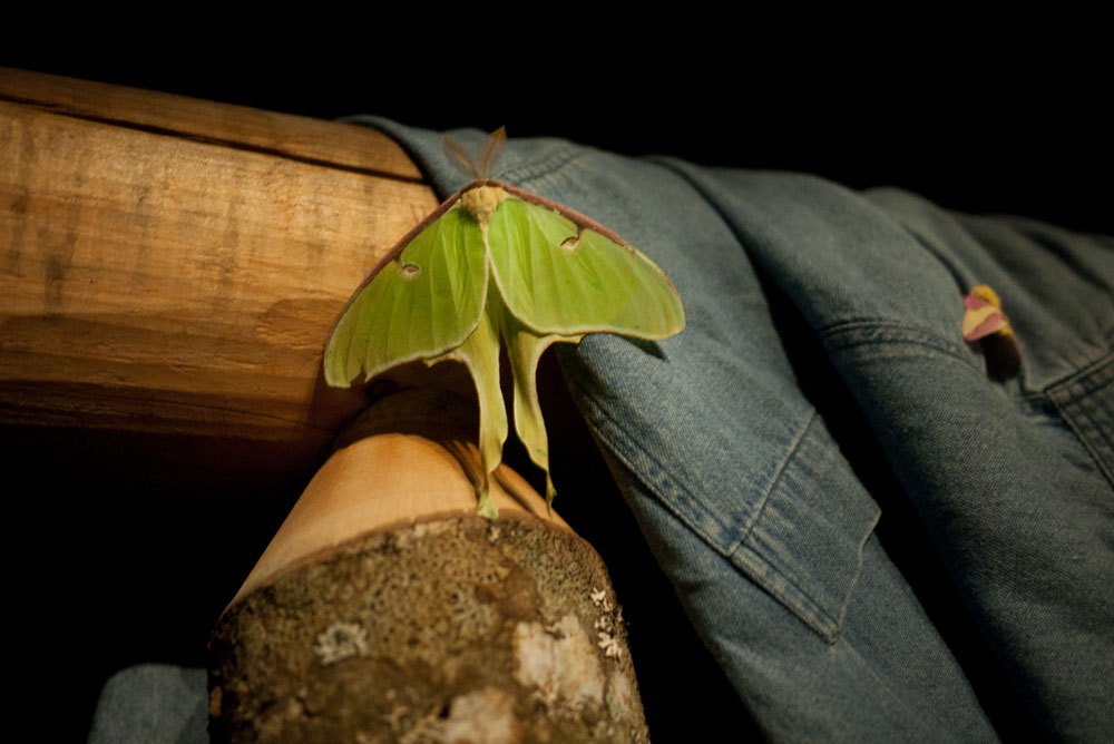 Luna moth, Maine 2012