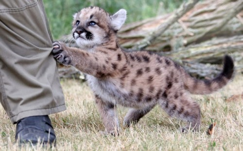 raichuuu:  theanimalblog:  Seven-week-old puma cub Missuula tries to catch her keeper at zoo Friedrichsfelde in Berlin, Germany.  Picture: EPA/STEPHANIE PILICK  ugrhioewfefuo :3