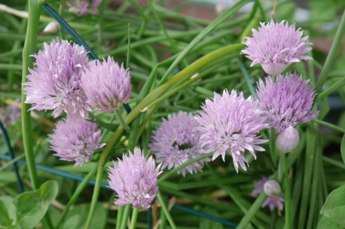 ferociousgardener:  Bloomin' chives in the garden.