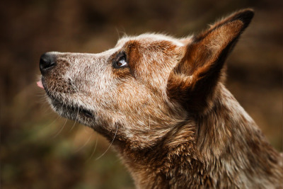 cattle dog … by Mathias Ahrens