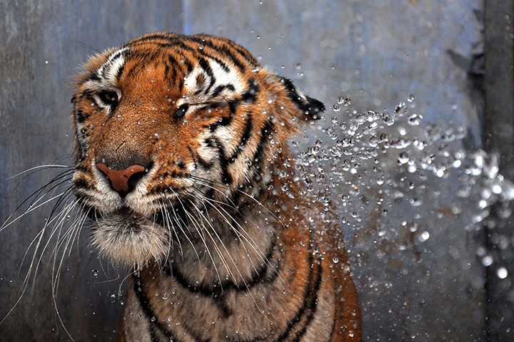 ecocides:  A Bengal tiger is hosed down by a spray of water at Birsa Munda zoological park - Ranchi, India | Photograph: AFP/Getty Images