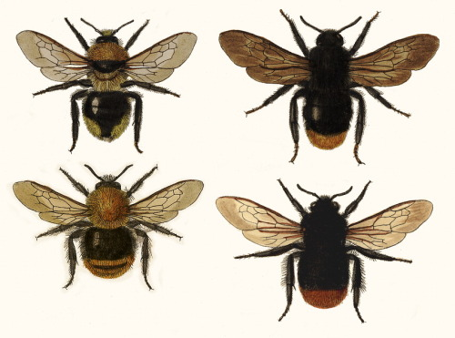 Comparing females of Bombus pascuorum and B. lapidarius with associated Cuckoo-bees (P. campestris and P. rupestris).
