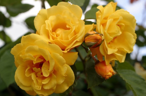 nybg:  Best Climbing Roses for the Gardener Climbers and ramblers are the sculptures of the rosarian's world, amenable to all the yanking, twisting, bending and tying that an ambitious gardener can throw at them. They make for some of the most eye-catching trellis coverings your landscape will ever know. But what varieties to train across your picket fence, or wrangle through the lattice of your quaintest backyard pergola? Here, gardening veteran Adrian Higgins tackles some of the trade's brightest bloomers—size, shape, fragrance and malleability included. Along the way, he also gets some cultivar input from the NYBG's own Peter Kukielski, erudite (and lovable) curator of our early-blooming Peggy Rockefeller Rose Garden. —MN