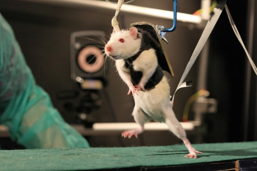 Paralyzed Rats Regain Mobility in Lab After severe spinal cord damage, paralyzed rats are able to walk again with the help of a robot to hold them up and stimulate their nerves, a new study shows. After the rats are trained on the machine for about two months, they gained the ability to control their hind legs — which had previously been cut off from communicating with the brain — with enough dexterity to climb stairs and navigate around objects. This control means that the brain has forged new connections to get around the spinal cord injury. keep reading