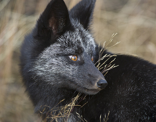 whispers-of-the-wild:  Black/Silver-flecked fox Photo by: Dan Newcomb Photography