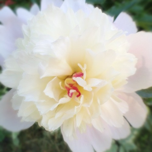First #peony of the season. #flowers #nature #white #pink #garden #spring (Taken with instagram)