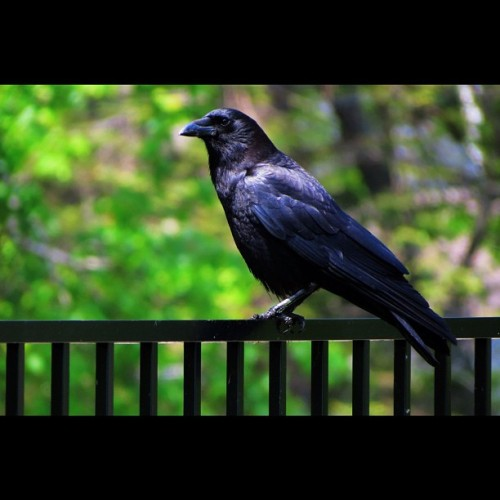 Crow wasn't cooperating with me today. #crow #bird #durr #thursday #minnesota #duluthmn #duluth #sun #filter #edit #lakewalk #animal (Taken with instagram)