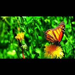 #butterfly #monarch #flower #weed #dandelion #thursday #duluth #minnesota #duluthmn #insect #bug #lakewalk  (Taken with instagram)