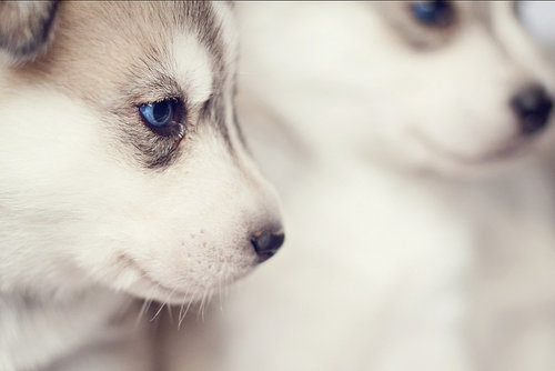 huskys are so cute ok