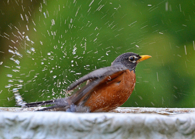 ~ Robin Taking A Bath