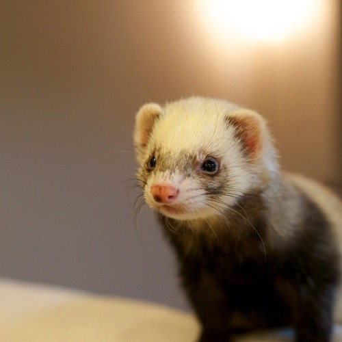 "thefluffingtonpost:  Ferret Scholar Proposes Radical New Form of Government Dr. Kenneth Geller, professor of political science at Dartmouth College and obvious ferret, has published a controversial paper that outlines a new governmental structure. ""He calls it Ferretocracy,"" says James Goodwell, a graduate student who assisted Dr. Geller with his research. ""Basically, ferrets rule over everyone with a benevolent but iron will. It's kind of like Plato's Philosopher King. But with ferrets."" So far, the theory has not been well received in academic circles. ""It's a nice idea, but it doesn't account for ferret nature,"" says Roger Kemnitzer, noted author and political analyst. ""If you concentrate too many ferrets at the top, you run the risk of corruption. Without checks and balances, a ferret oligarchy could run amok, and you'd be back in the dark ages,"" he explains. ""But with ferrets."" Via nakao hata.  It's kind of like Plato's Philosopher King. But with ferrets."