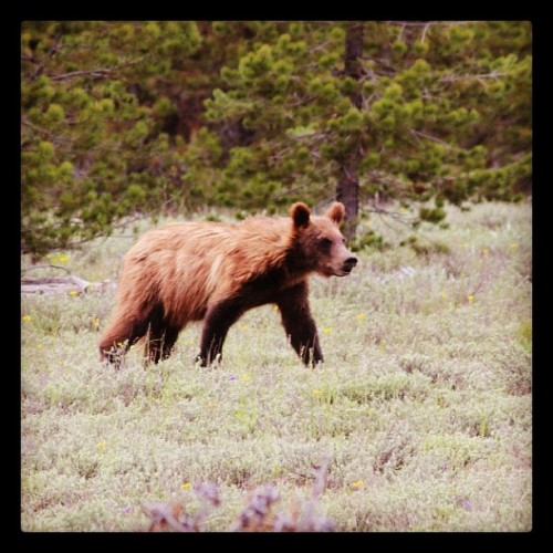Grizzly in Grand Tetons.  Mile 2,479.  (Taken with instagram)