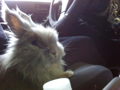 poweredbyrabbits:  Buster is moving cross state with me tomorrow! Hoping for an easy move!!  (This is a picture from our previous trip, he's hanging out at a rest stop)