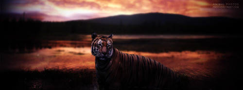Tiger Sunset Facebook Cover