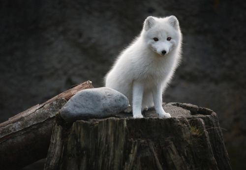 llbwwb:young artic fox by ben marar Hey Guys,we need more Animals! Submit your Animal shots and Cute Pets today:)) You have to follow this blog, it's really awesome!