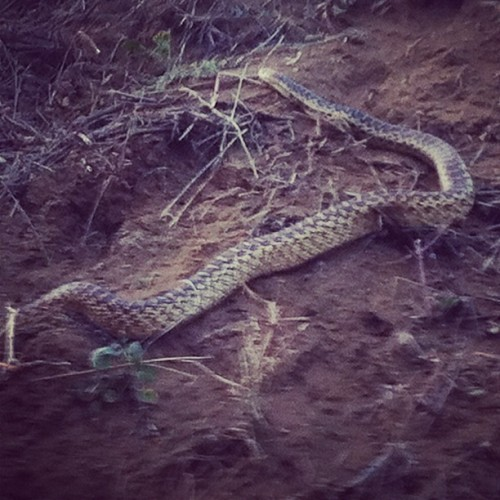 excitement at #runyoncanyon: a really really big snake (Taken with instagram)