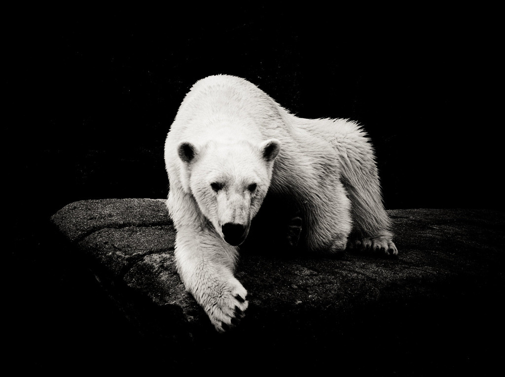 Polar Bear (by Kasper Andersson)