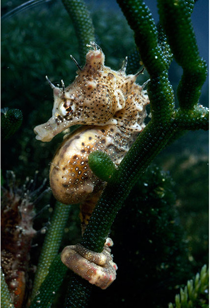 "carbonlocked:  Adorable seahorse clinging to algae. ""Just hanging, man."""