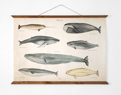 beardybeardy:  Narwhal. Need I say more? LARGE Whales poster vintage illustration educational by ARMINHO on We Heart It. http://weheartit.com/entry/29654309