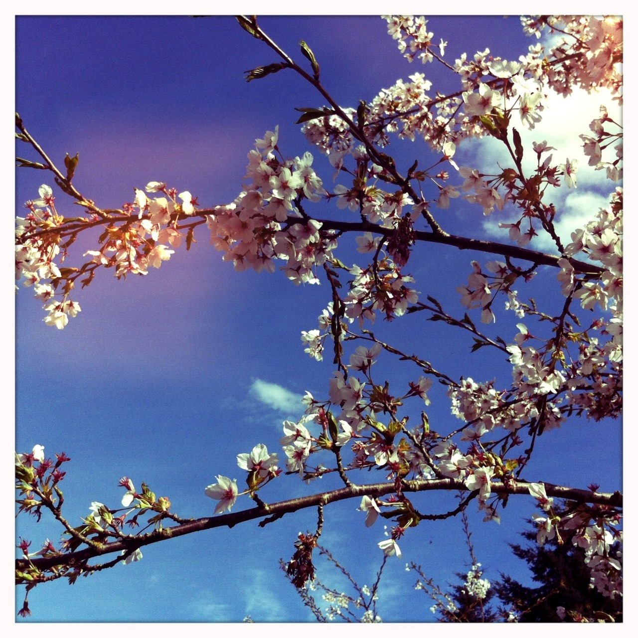 Cherry Blossoms #makebeautiful Chunky Lens, Blanko Film, No Flash, Taken with Hipstamatic #Hipstacode_CKBK © 2012 Kent Kangley