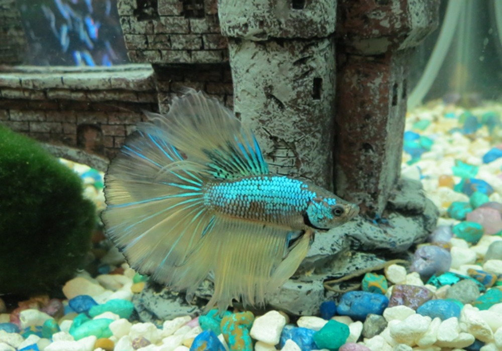 Henry, one of my betta fish. Isn't he pretty? :D