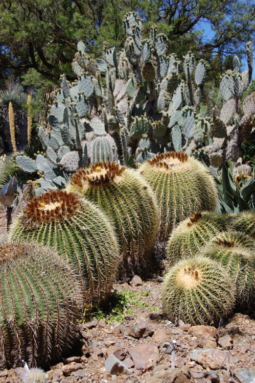 flora-file:  Echinocactus grusonii Barrel Cactus (by FarOutFlora)