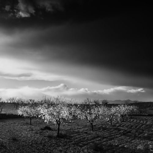 Almond Trees (by DavidFrutos)