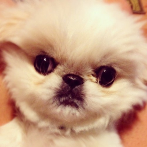 You wanna mess with me?!? #sircluftonball #pekingese #puppy #pup #attitude 🐶 (Taken with instagram)