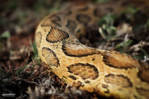 fuckyeah-nature:  Snake Pattern by Gughan Bose on Flickr.