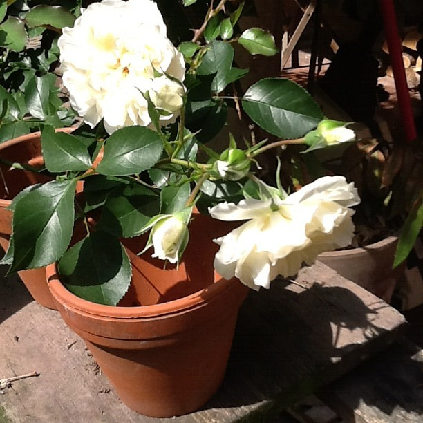 white roses in my italy garden hundreds of blooms this year, love it  (Taken with Instagram at via pace)
