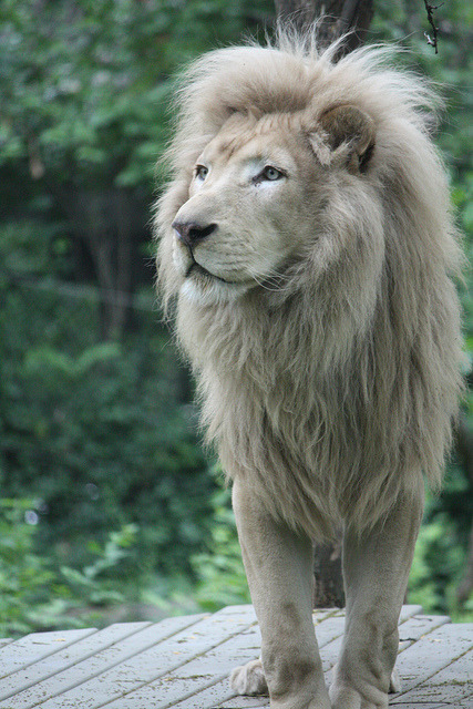furples:  White Lion (by LukeStutlerPhoto)