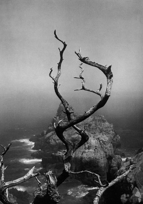 undr: Minor White Twisted Tree, Point Lobos, 1961